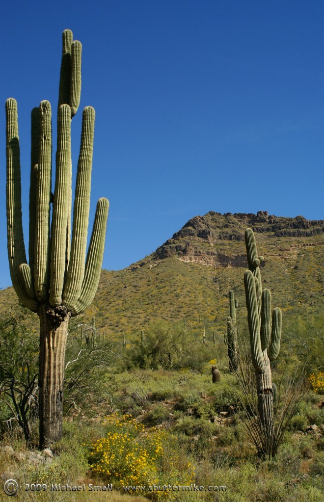 Saguaro Cactus Photo at Usery Mountain Park, Arizona