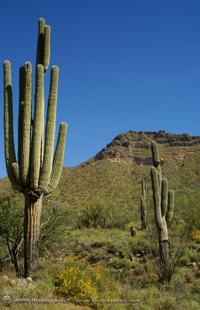 Saguaro Cactus Photo at Usery Mountain Park, Arizona