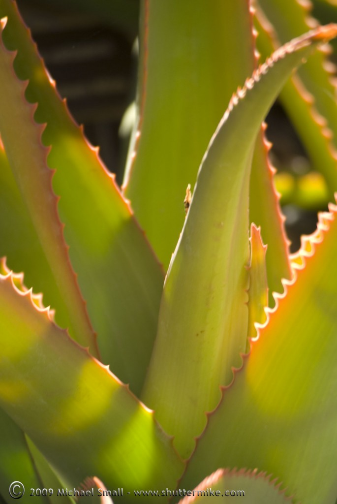 Photograph of green aloe plant.
