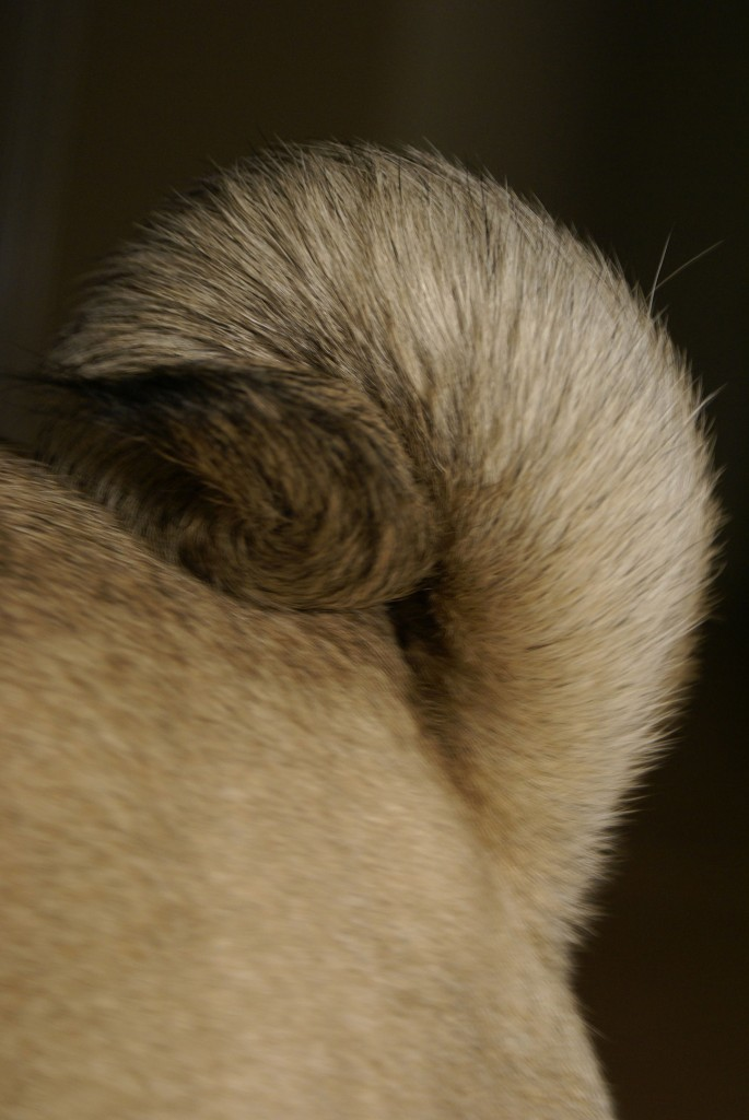 Photo of a pug tail