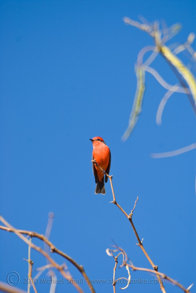 Photo of a red bird in Arizona