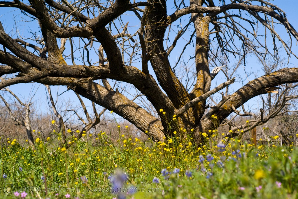 Photo of a mesquite tree and wildflowers