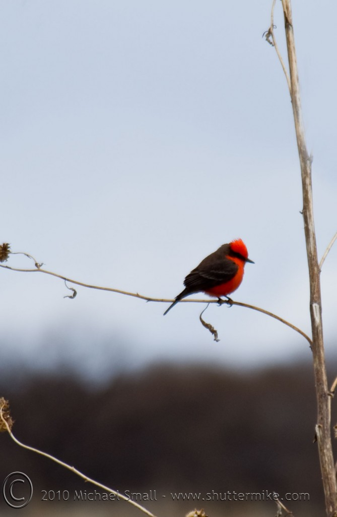 Photo of a vermilion flycatcher in Arivaca Cienegas