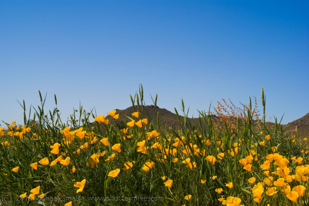 Photo of poppy wildflowers near the Superstition Mountains