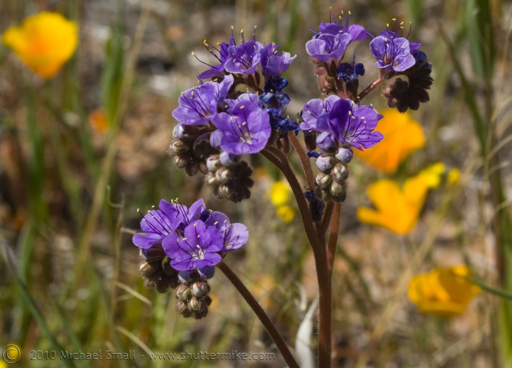 Photo of purple wildflowers in Arizona