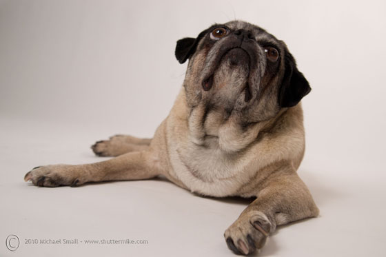 Pet portraits - Pug