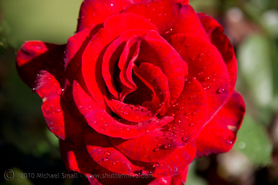 Photo of a red rose after a rain storm