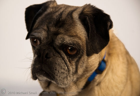 Photo of a pug looking sad