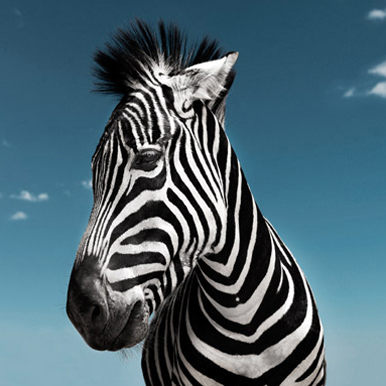 Zebra photograph by David Boni