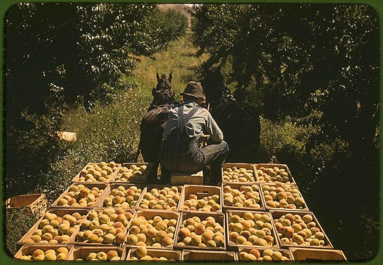 Hauling crates of peaches from the orchard to the shipping shed.