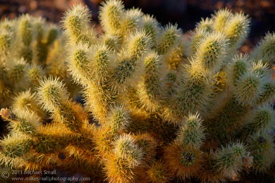 Photograph of a cholla cactus at sunrise