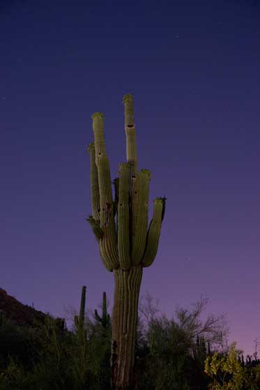 Photograph of saguaro cactus in the moon light.