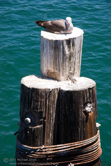 Photo of a sea gull sunning itself on a wood piling