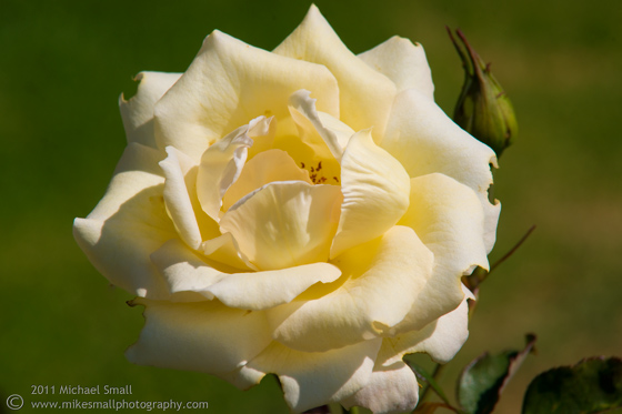 Photograph of a rose in full bloom