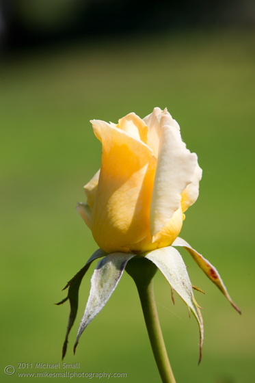 Photo of a rose bud opening up