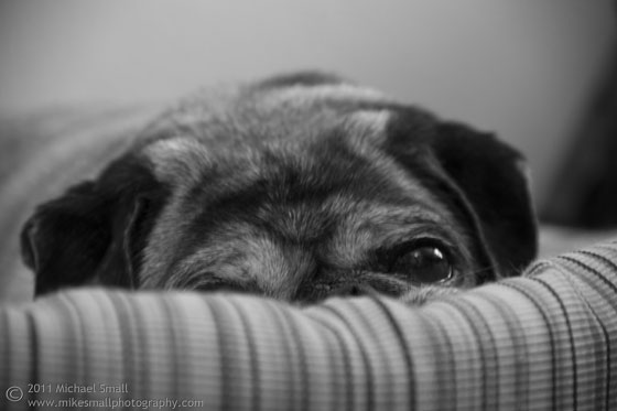Photo of a pug