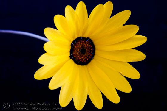 Photo of a yellow Arizona wildflower on a black background.