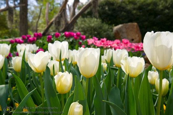 Photo of tulips in the Birmingham Botanical Garden