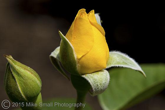 Budding Roses
